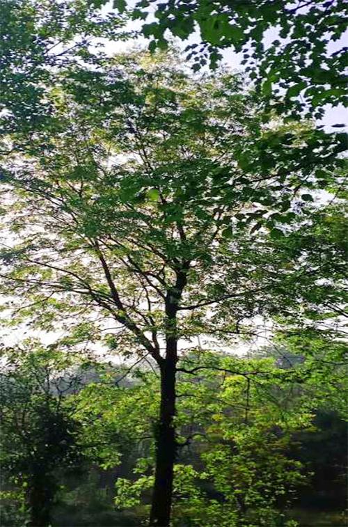 黄连木树苗