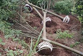 绿化苗木栾树15公分发货