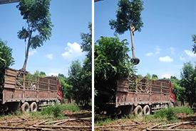 绿化苗木栾树20公分发货